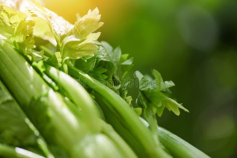 新鲜的芹菜菜-束与叶子的芹菜茎在自然绿色背景 免版税库存照片