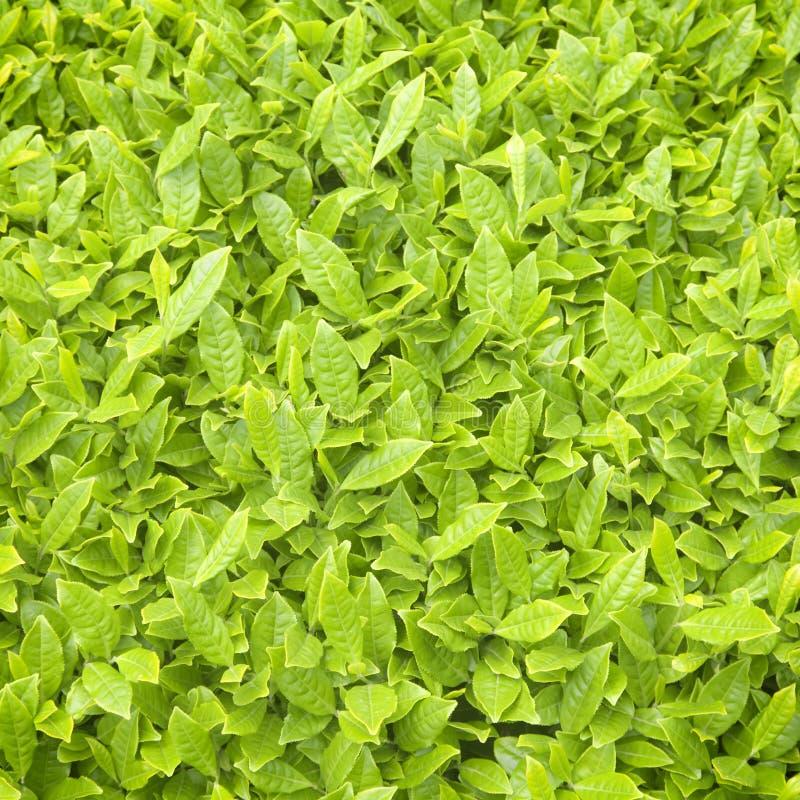 新鲜的茶叶构造背景 免版税库存照片