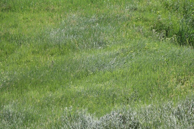 新鲜的草在风的阵风的下草甸 库存照片