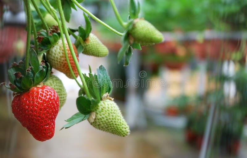 新鲜的草莓 免版税库存图片