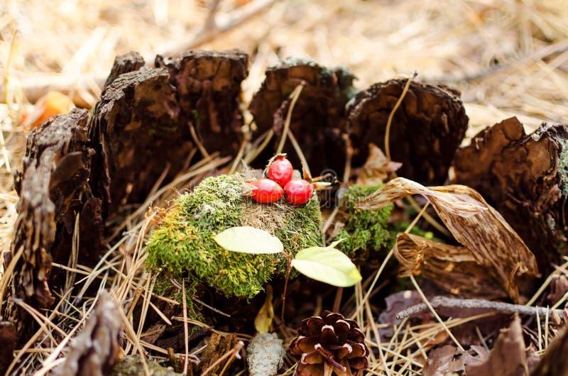 新鲜的莓果狂放在一个绿色青苔上升了 免版税库存照片