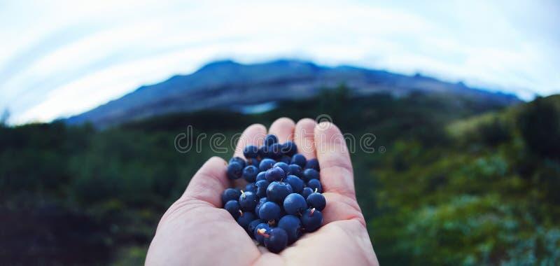 新鲜的莓果蓝莓在人的手上绿色背景的在森林离开 免版税库存照片