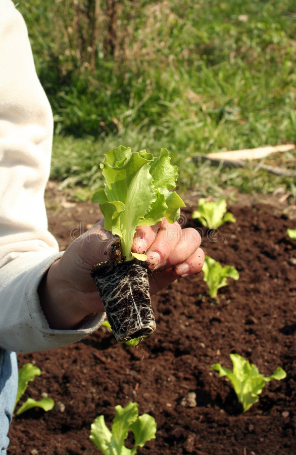 新鲜的莴苣工厂土壤 图库摄影