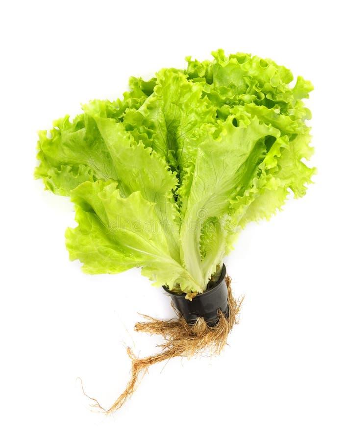 新鲜的莴苣沙拉 图库摄影