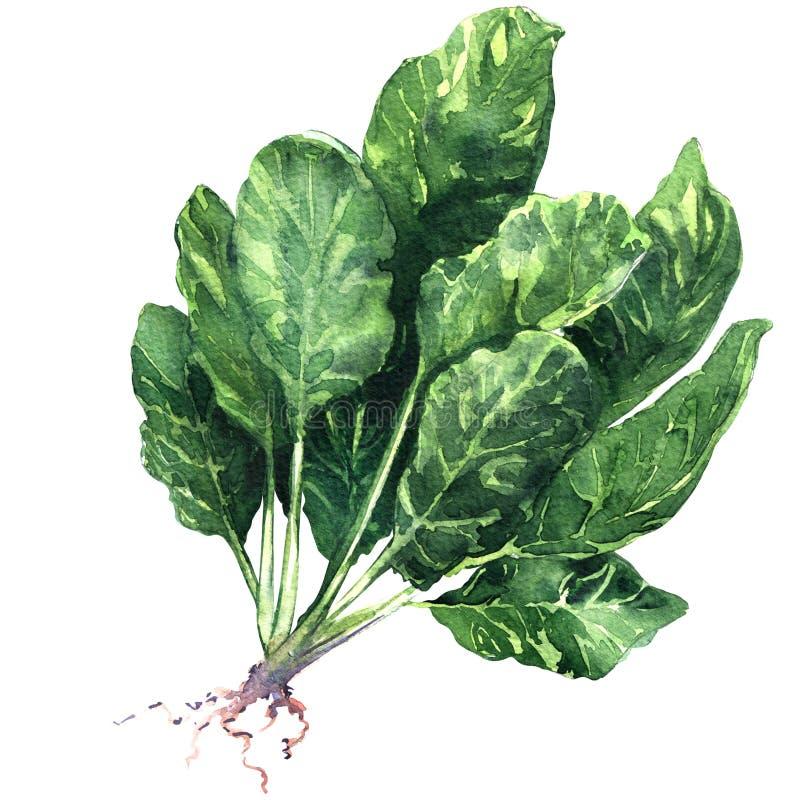 新鲜的菠菜离开与被隔绝的根,在白色的水彩例证 库存例证