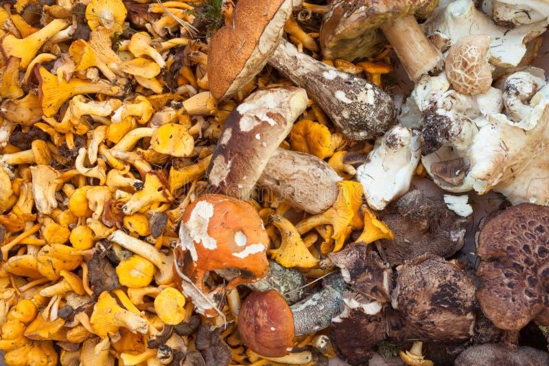 新鲜的蘑菇直接地从木头整理了作为背景 免版税库存照片