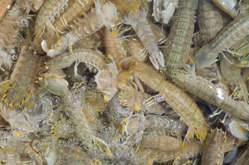 新鲜的虾蛄