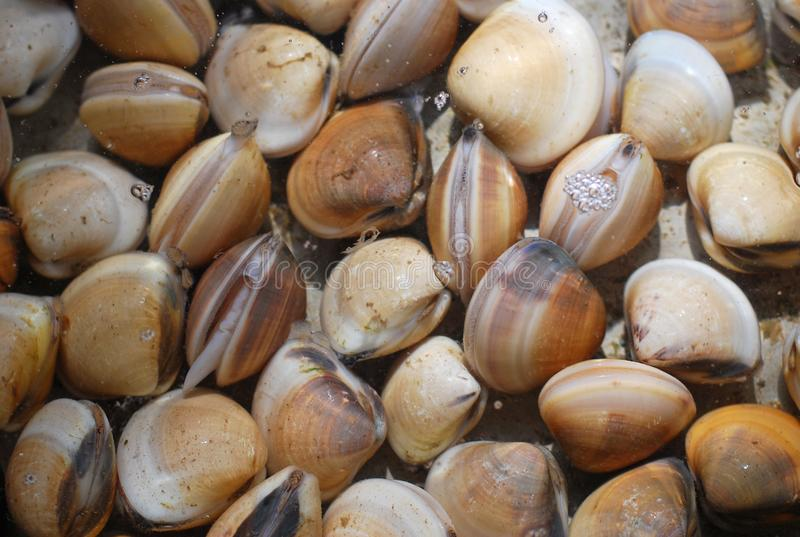 新鲜的蛤蜊在水中在市场上 库存图片