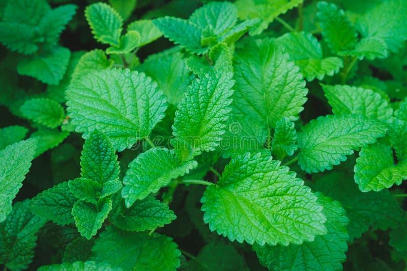 新鲜的香脂植物-香蜂草药草园 免版税库存照片