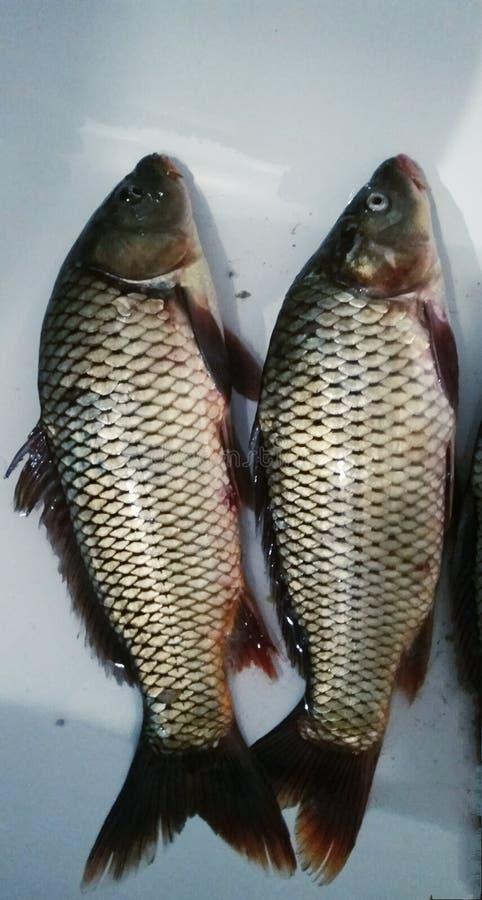 新鲜的鲤鱼鱼捕获 免版税图库摄影
