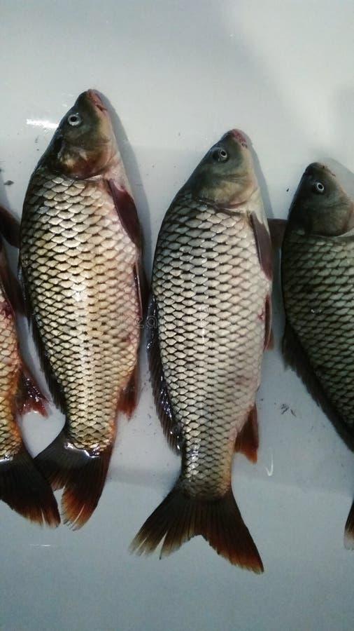 新鲜的鲤鱼鱼捕获 免版税库存照片