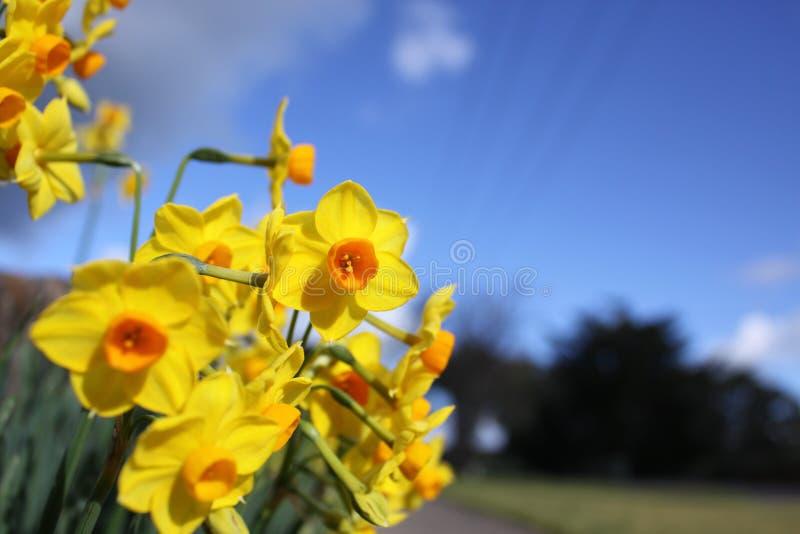 新鲜的黄水仙花在庭院里 库存图片