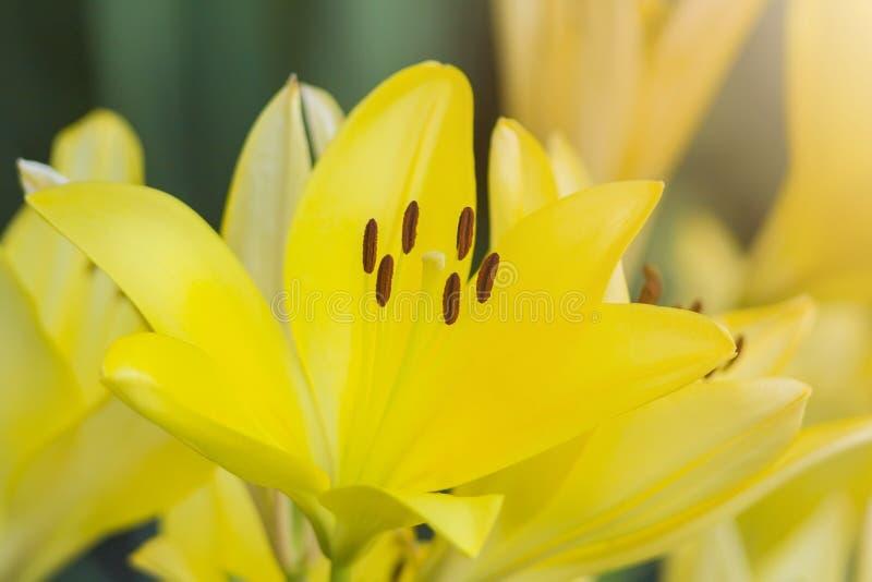 新鲜的黄色百合花束在庭院里 库存照片