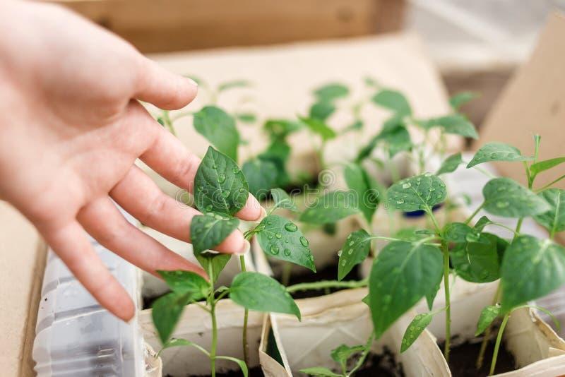 新鲜的年轻幼木行在妇女的手上 文化植物关心  库存照片