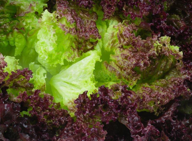 新鲜的紫罗兰色莴苣叶子 库存照片