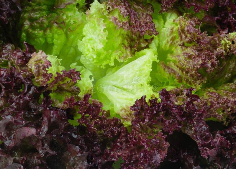 新鲜的紫罗兰色莴苣叶子 库存图片