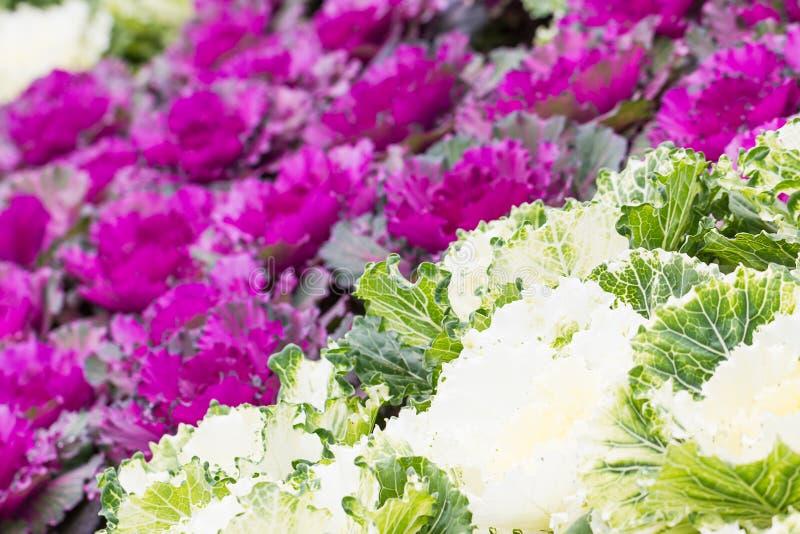 新鲜的紫色和白椰菜(芸苔)植物离开 图库摄影