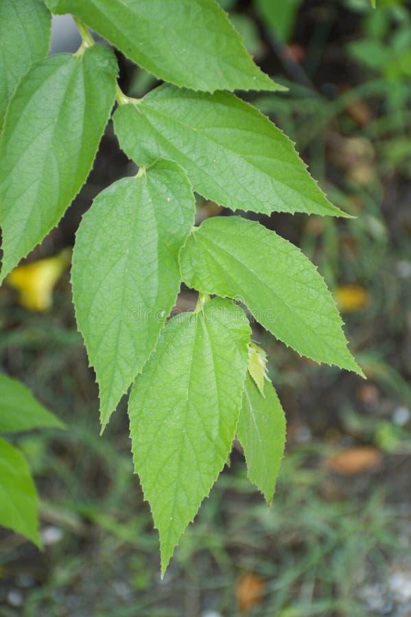 新鲜的绿色大风子科rukam叶子 图库摄影