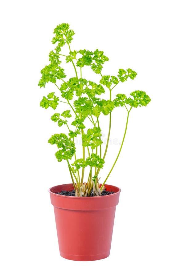 新鲜的绿色荷兰芹年轻幼木在花盆is is离开 免版税库存照片