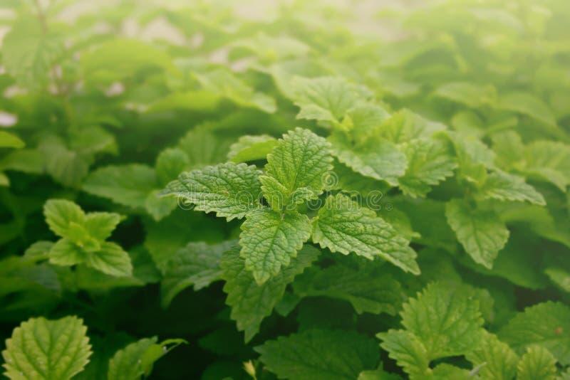 新鲜的绿色薄荷叶特写镜头  抽象背景 软的fo 免版税库存照片