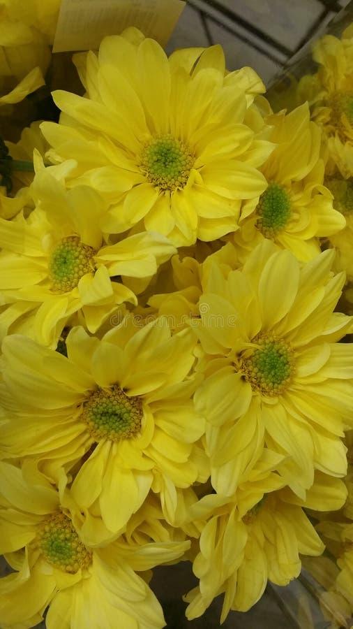 新鲜的黄色雏菊 库存图片