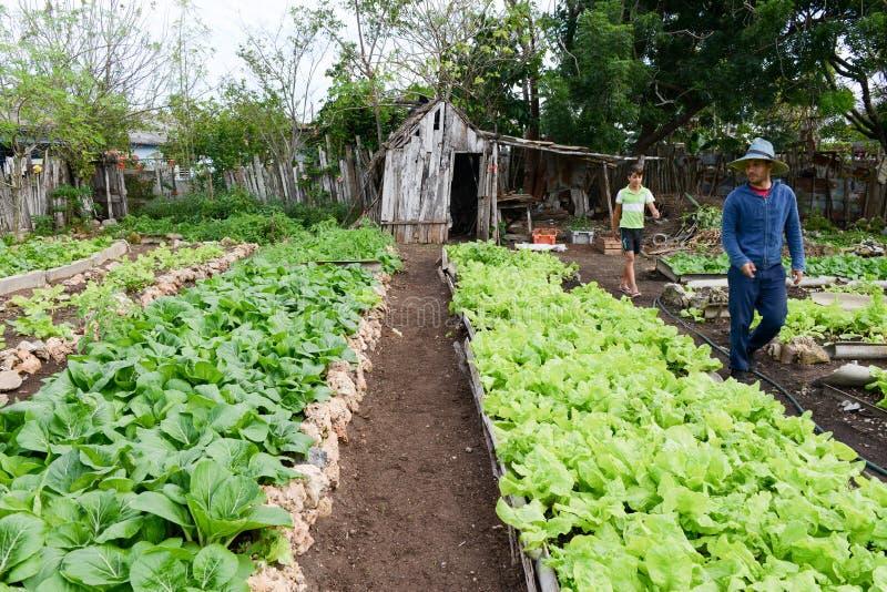 新鲜的莴苣植物行在Giron乡下  免版税库存照片