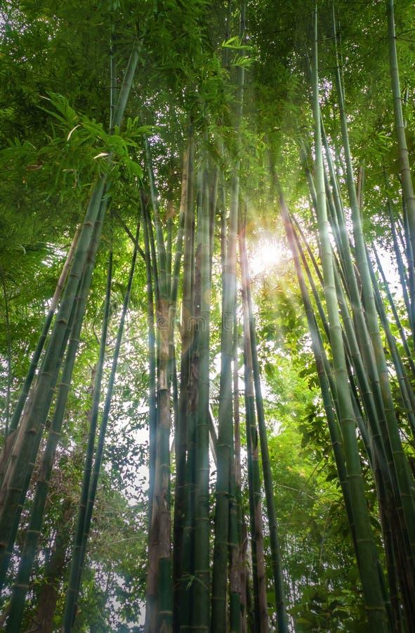 新鲜竹的森林 库存照片