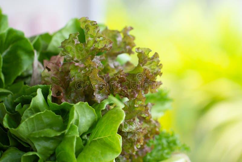 新鲜蔬菜沙拉植物婴孩绿色COS长叶莴苣和红珊瑚橡木散叶莴苣的关闭从庭院有机农场为 库存图片