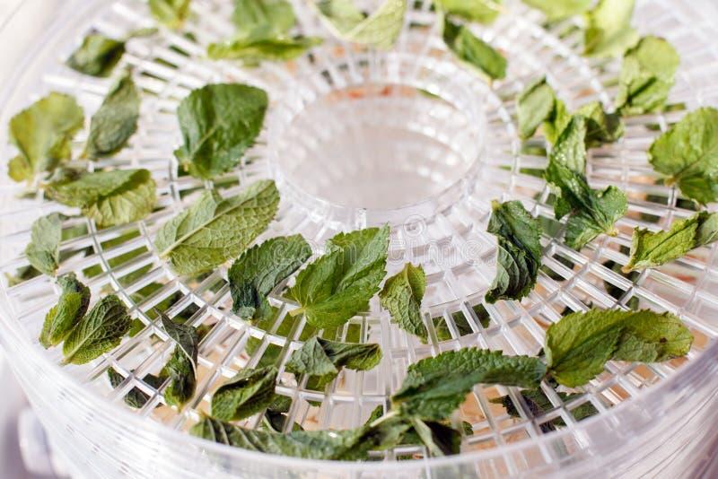 新鲜薄荷是在桌上的干白色食物脱水剂盘子 电烘干机,ealthy素食素食主义者概念,果子饮食 特定工具 库存图片