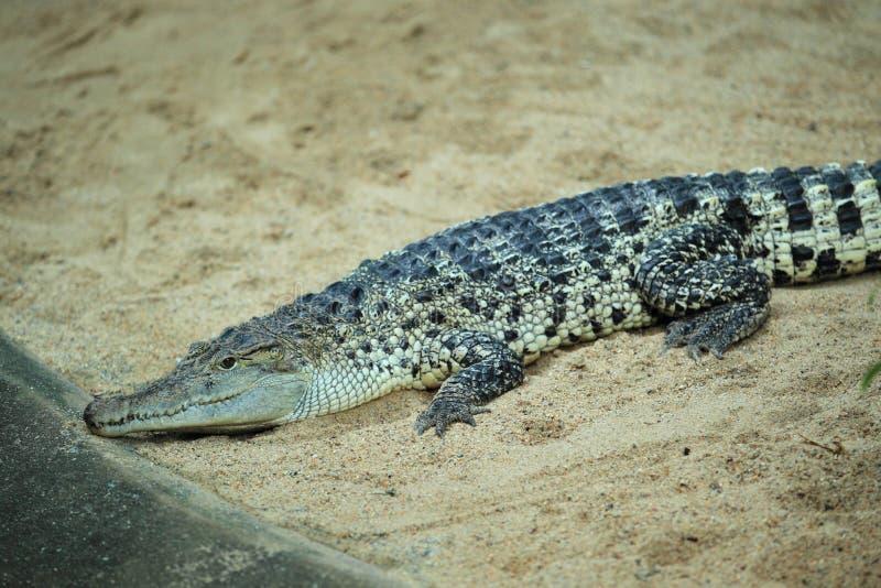 新鳄鱼的几内亚 免版税库存照片