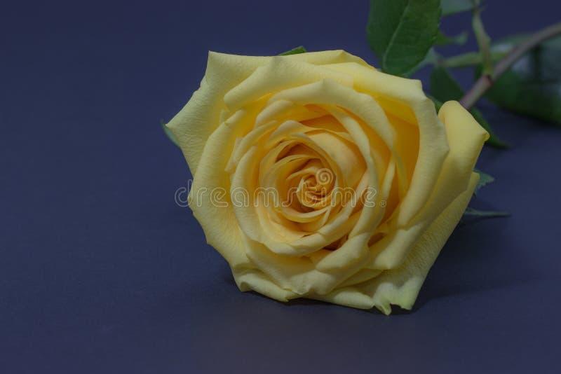 新黄色在黑暗的背景花卉背景上升了紧密  免版税图库摄影
