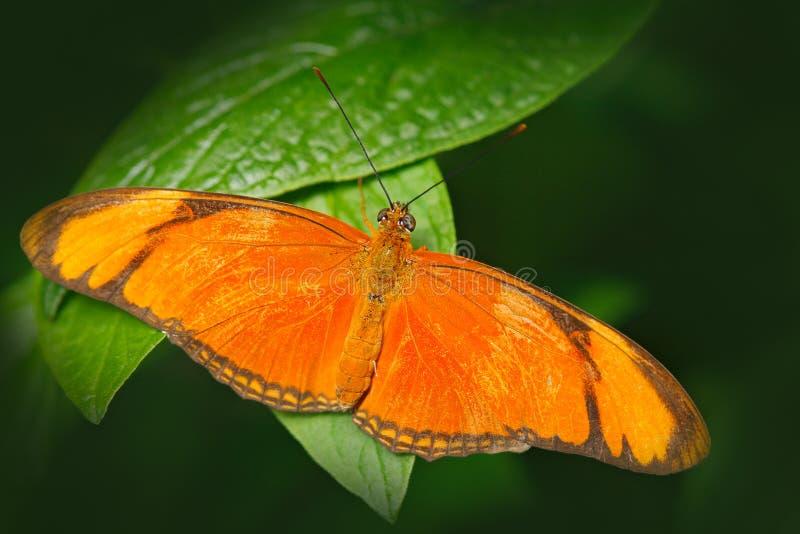 新仙女木iulia,被拼写的茱莉亚heliconian,在自然栖所 从哥斯达黎加的好的昆虫绿色森林蝴蝶的坐Th 免版税库存照片