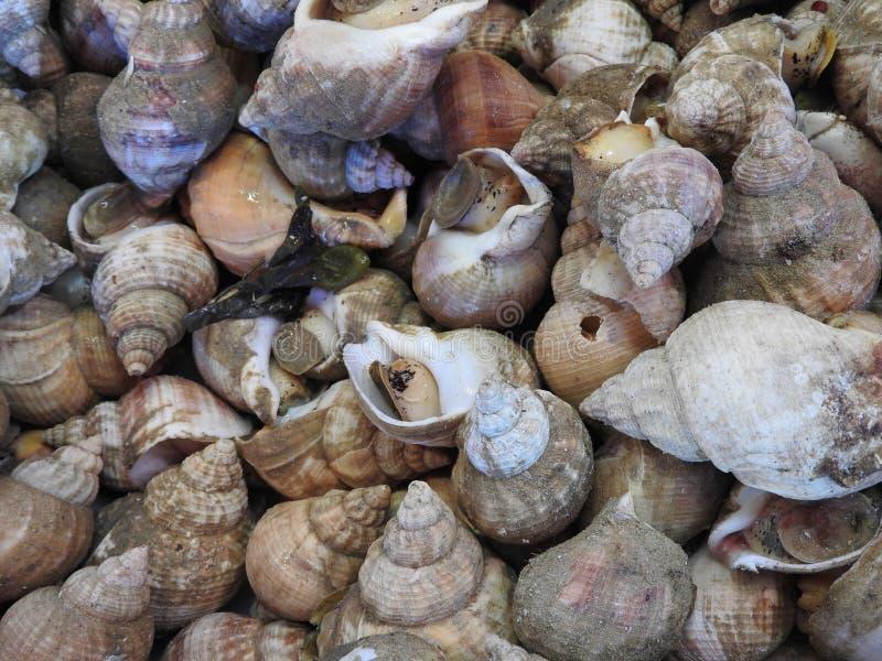 新bulots或bourgets 新鲜的海鲜,关闭市场 免版税库存照片