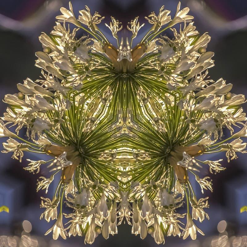 方形的花框架反射性设计在有白色瓣的加利福尼亚在形状 向量例证