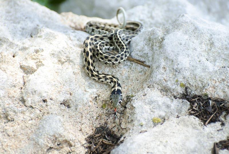 方格的花纹蛇,漂流木头得克萨斯 免版税图库摄影