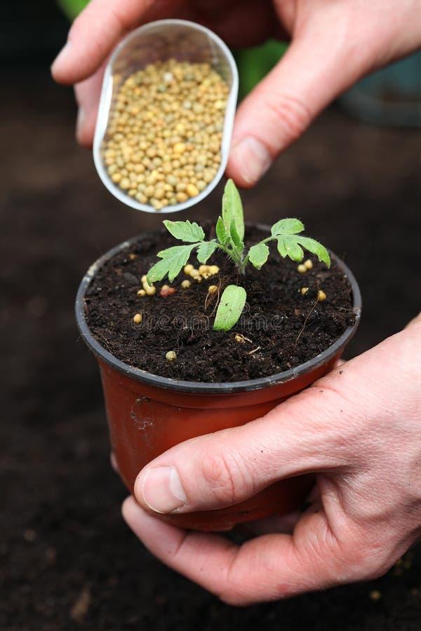施肥年幼植物 免版税库存图片