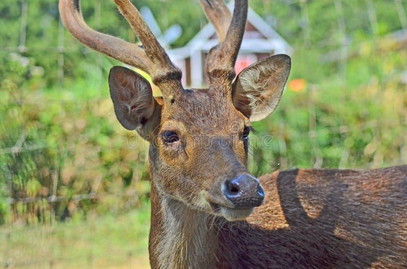 旁边观看美丽的鹿紧密  库存图片