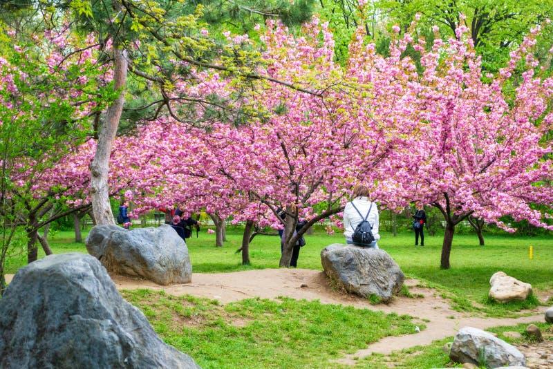 旅游前基于岩石和敬佩在布加勒斯特迈克尔I Park Herastrau国王的日本樱花树 库存图片