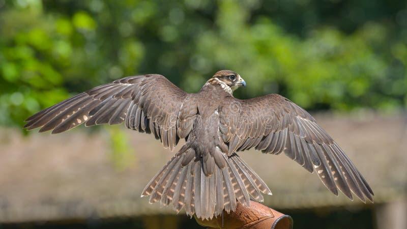 旅游猎鹰,安置在以鹰狩猎者的手 免版税库存图片