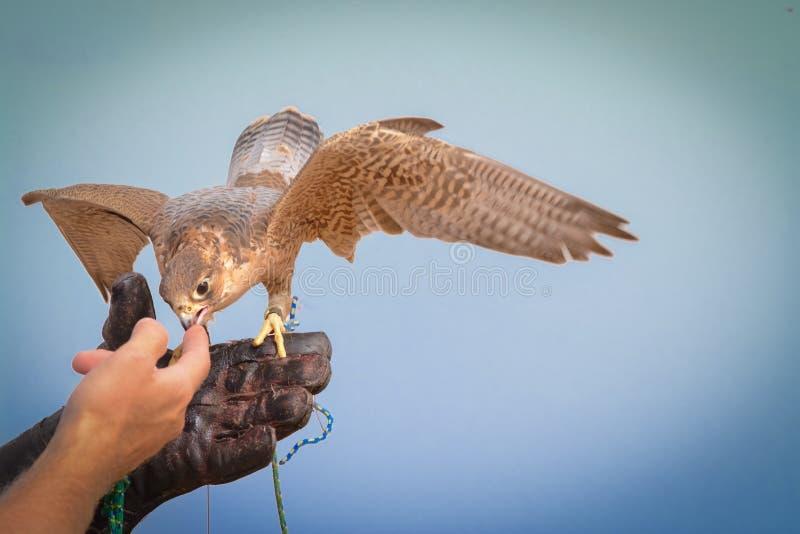旅游猎鹰-流浪的解决- Al玛哈-阿拉伯联合酋长国 库存照片