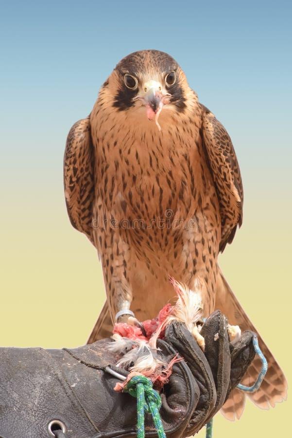 旅游猎鹰-迪拜沙漠Conservatio储备- Al玛哈- 图库摄影