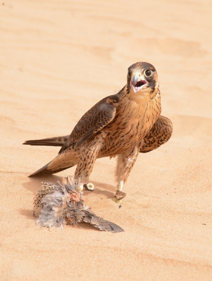 旅游猎鹰-迪拜沙漠Conservatio储备- Al玛哈- 库存照片