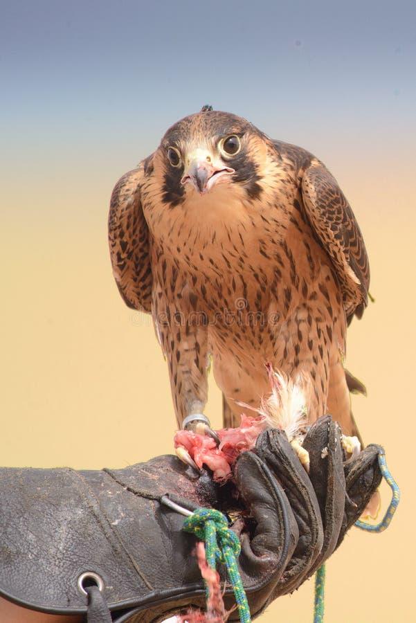旅游猎鹰-迪拜沙漠Conservatio储备- Al玛哈- 免版税库存照片