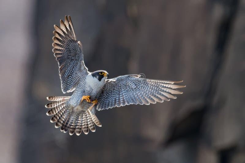 旅游猎鹰 库存照片