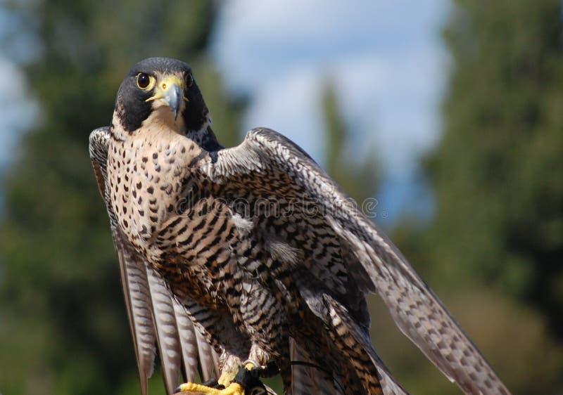 旅游猎鹰 免版税库存照片