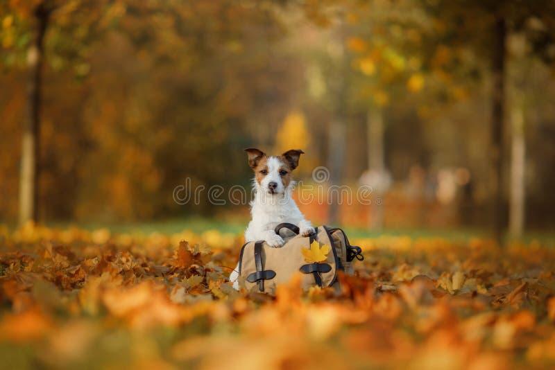 旅行与狗 宠物秋天在公园 黄色叶子和袋子 库存图片