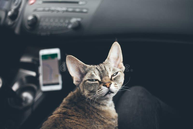 旅行在汽车的猫 库存照片
