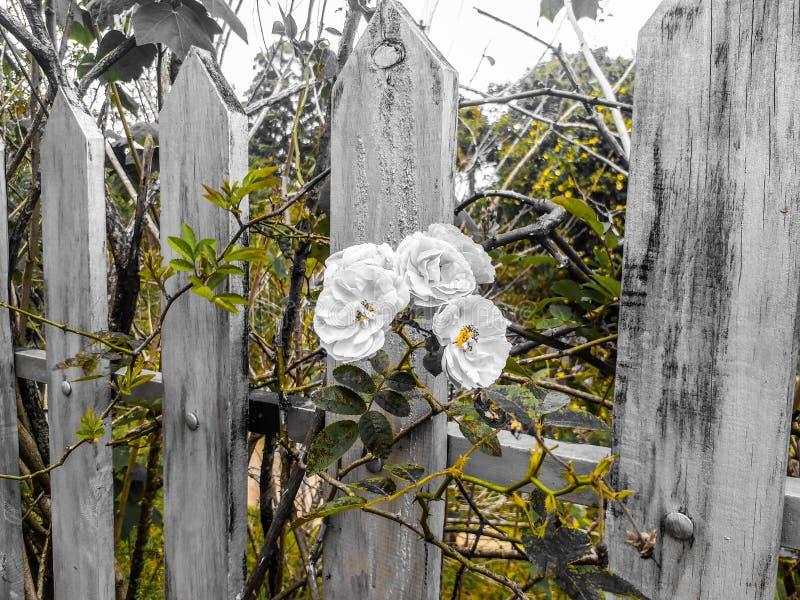 旅行花摄影生活 玫瑰 库存图片