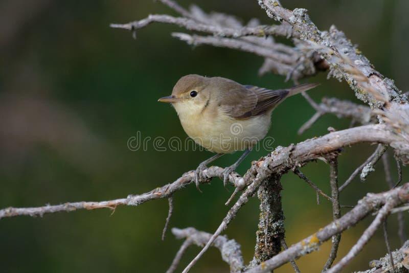 旋律美妙鸣鸟- Hippolais polyglotta - Pyrénées-Orientales,法国 免版税图库摄影