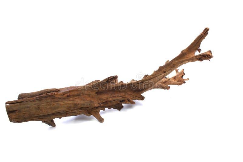 水族馆的美洲红树断枝在白色背景 库存照片